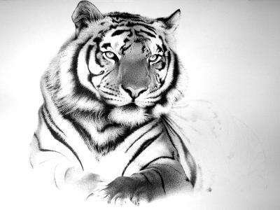 Les felins tigres blancs - Tigre blanc dessin ...