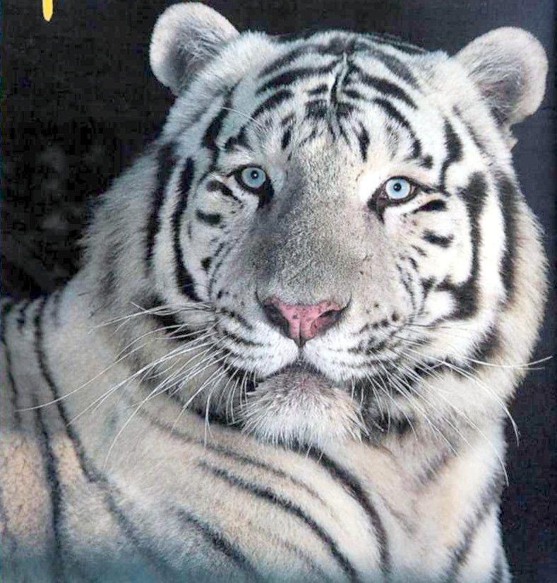 Les felins tigres blancs page 3 - Photo de tigre blanc a imprimer ...